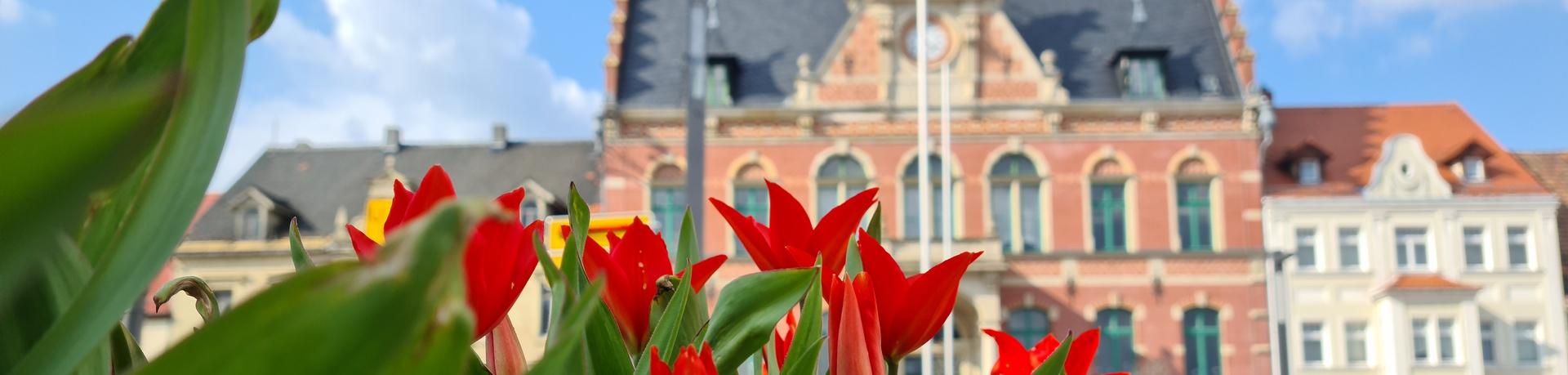 Rathaus Tulpen